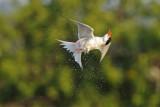 Common Tern - שחפית ים - Sterna hirundo