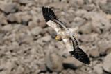 Egyptian Vulture - רחם מדברי - Neophron percnopterus