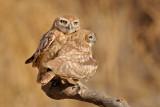 Little Owl - כוס החורבות - Athene noctua