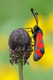 Burnet - סס מבריק אדום - Zygaena graslini