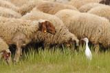 Cattle Egret and Sheep - אנפית בקר - Bubulcus ibis