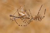 Lobed Argiope and Grasshopper - כסופי וחגב