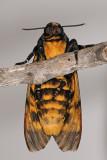 Death's Head Hawk-moth - ר. גולגולת המת