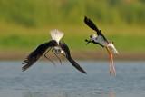 Black-winged Stilt - תמירון - Himantopus himantopus