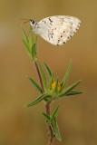 Levantine Marbled White - Melanargia titea