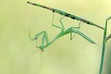 Mantis - גמל שלמה חיוור