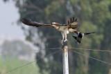 Osprey - שלך -  Pandion haliaetus