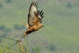 Long-legged Buzzard - עקב עיטי - Buteo rufinus