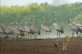 Golden Jackal and Cranes - תן ועגורים