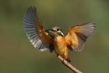 Common Kingfisher - שלדג גמדי - Alcedo atthis