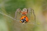 Spider and Beetle - עכביש וחיפושית
