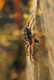 Banded Garden Spider - כסופי וטרף