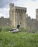 Mr n Mrs Duck at Bodiam castle