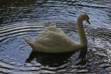 Russell Gardens Swan_1677.jpg
