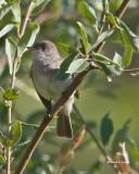 Olive-sided Fly Catcher