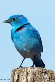 Blue Bird Creston, WA