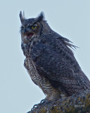 Great Horned Owl Juvenile, Lincoln County WA