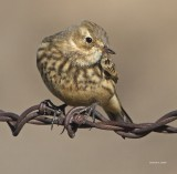 American Pipit, Lincoln Co