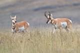 Antelopes_Western_Montana