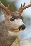 Mule Deer  Buck Western Montana