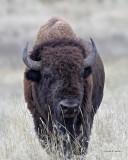 Buffalo Western Montana