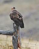 Golden Eagle Western Montana