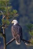 Eagle N Tree Northern Idaho