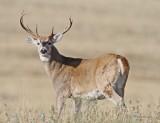 White Tail Buck Western Montana