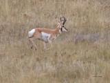 Antelope Lope Western Montana