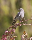 Townsend's Solitaire Lincoln Co