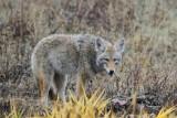 Coyote_Turnbull_Wildlife_Refuge