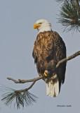 Bald Eagle Northern Idaho