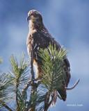 Juvenile Bald Eagle Northern Idaho