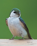 Violet Green Swallow my back yard