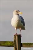 Sea Gull Samish Flats