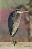 Great Blue Heron Skagit Valley