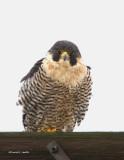 Peregrine Falcon Samanish Flats