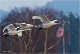 Patriotic Skagit Valley Swans