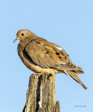 Collared Dove, West Plains