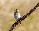 Savannah Sparrow, West of Spokane