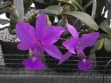Cattleya walkeriana #4