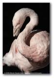 Flamingo : Phoenix Zoo
