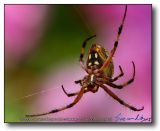 Orb Weaver : Long Beach