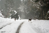 Deer in the road (the snow is too deep off the road)