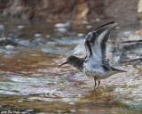 Spotted Sand Piper