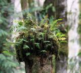 Ferns and Moss IMG_2889a.jpg