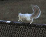 An Albino Squirrel - Night vision image