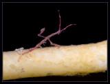 Skeleton Shrimp, one armed push-up