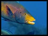 Hogfish eating a brittlestar
