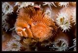 Christmas Tree Worm and coral polyps